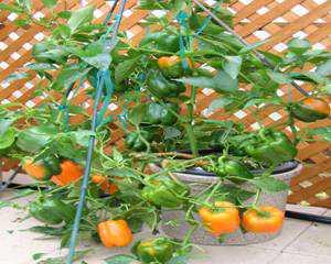 OrangeGrande2